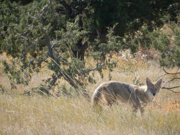 Coyote in Badlands Wilderness Area