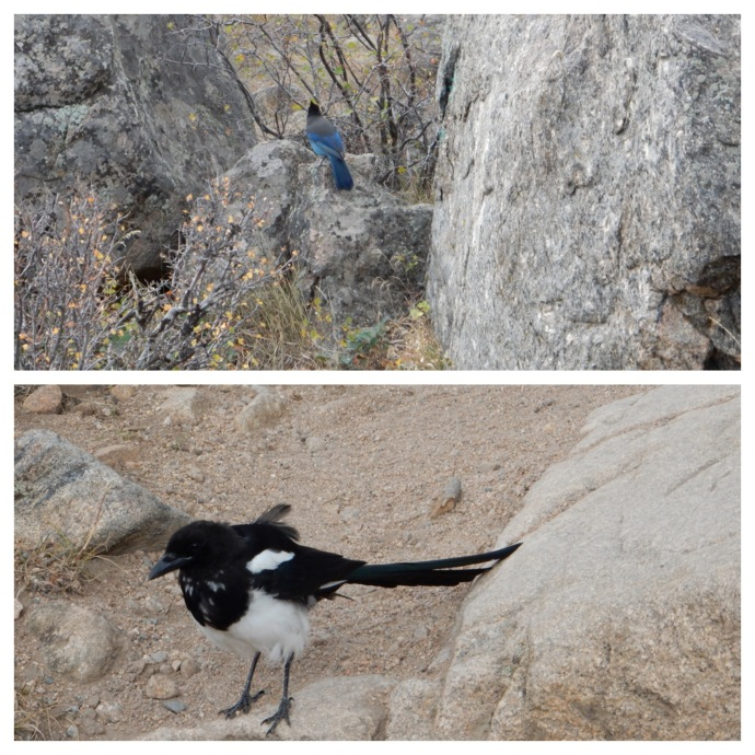 Stellar jay and magpie along Cub Lake Trail