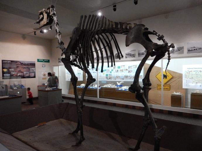 The camel skeleton at Morrill Hall at the University of Nebraska