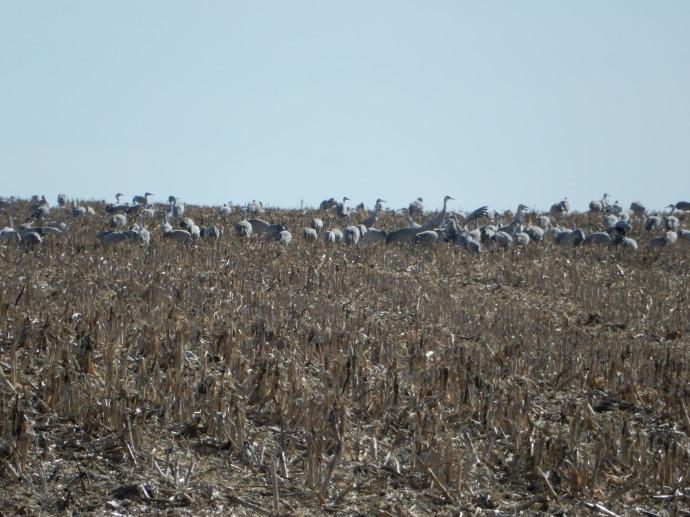 Some sandhill cranes feeding in fields by the Platte River near Kearney NE
