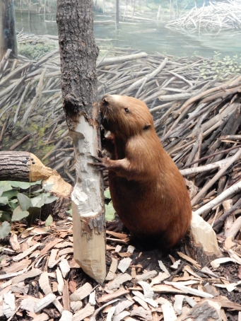 From the beaver diorama at the Bell Museum